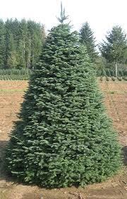noble fir olympic trees
