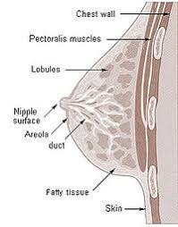 Female Breast Anatomy And Physiology Human Physiology The Female Reproductive System Wikibooks Open