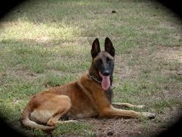belgian shepherd diesel working dogs for sale