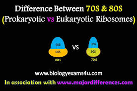 8o s difference between 70s and 80s ribosomes prokaryotic vs