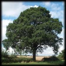 the oak tree king of the greenwood