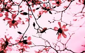Magnolia Wallpaper Magnolia Tree 820156 Walldevil