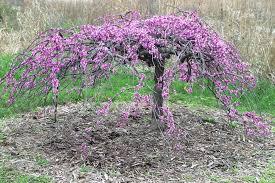 Kansas City Botanical Gardens by Redbud Lavender Twist Cercis Canadensis U0027covey U0027 In Front O U2026 Flickr