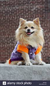 dog halloween costumes images dog halloween costume vertical stock photos u0026 dog halloween