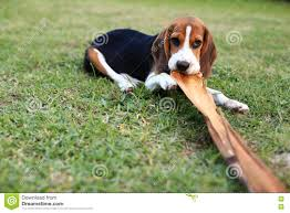 cute beagles playing in backyard stock photo image 82170881