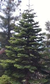 13 best our silvertip fir trees images on