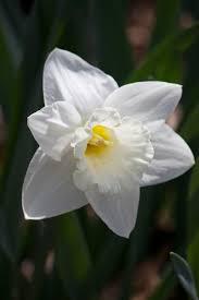 White Trumpet Flower - white trumpet daffodil mount hood daffodils pinterest