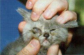 Taking Care Of A Blind Cat Cat Flu U2013 Upper Respiratory Infection International Cat Care