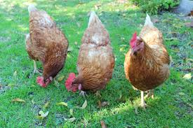 how to get started with urban backyard chickens girls going green