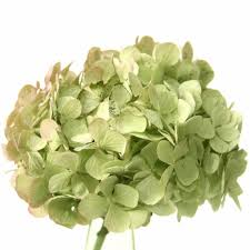 bulk hydrangeas fresh bulk antique green hydrangea stems 3 01 to 3 28 per stem