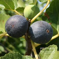 figs delivery 60 best figs images on figs fig tree and honey