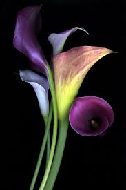 purple calla lilies purple calla lilies 1 favorite flower flora and fauna