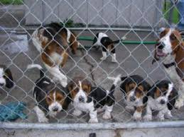 afghan hound rescue north carolina basset hound puppies for sale
