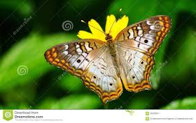 butterfly stock photos images u0026 pictures 141 731 images