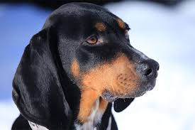 bluetick coonhound energy level black and tan coonhound dog breed information pictures