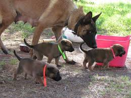 belgian shepherd youtube belgian malinois puppies for sale akc registered litters and