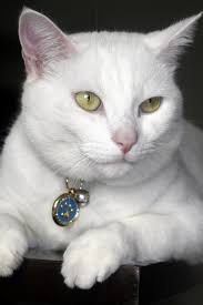 68 best white cats images on pinterest animals white cats and cats