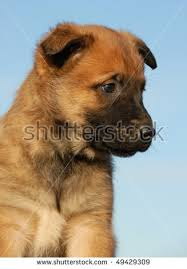 belgian sheepdog brown portrait of a purebred puppy belgian sheepdog malinois stock photo
