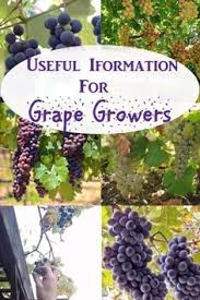 How To Grow Grapes In Your Backyard by How To Grow Grapes In Your Backyard Gardens Them And Vineyard