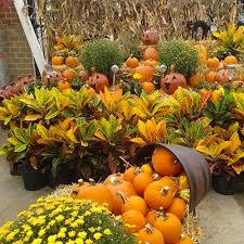 12 spectacular annual fall flowers costa farms