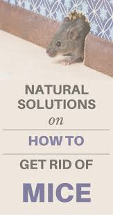 how to get rid of mice in walls and attic wall decoration ideas