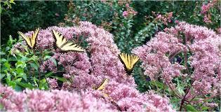 maryland native plants 5 favorite summer blooming perennials behnke nurseries garden center