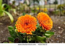 Calendula Flowers Calendula Flower Stock Images Royalty Free Images U0026 Vectors