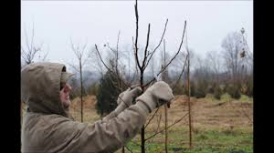 pruning cleveland pears a flowering pear tree