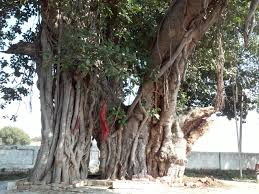 file banyan tree shiv bajrang dham kishunpur focus jpeg