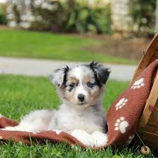 australian shepherd kid friendly miniature australian shepherd puppies for sale greenfield puppies