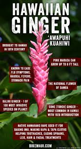 native indigenous plants hawaii ginger maui plant of the month u0027awapuhi kuahiwi