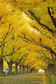 ginkgo tree autumn gold for sale the tree center