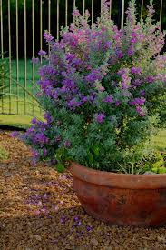 texas sage flowers garden container ginnyh varieties we love