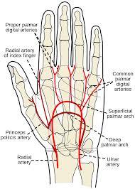 Borders Of The Heart Anatomy Radial Artery Wikipedia