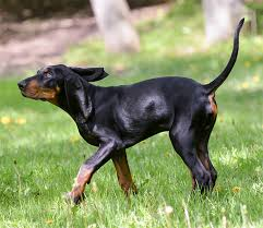 bluetick coonhound with cats black and tan coonhound dog breed information pictures