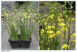 albuca shawii syn albuca trichophylla shaw u0027s albuca from gold