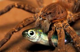 fish eating spiders can catch prey 5 times their size