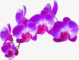 purple orchid flower purple orchid decoration pattern purple orchid flowers png