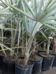 sylvester palm tree sale virginia virginia wholesale palm trees for sale