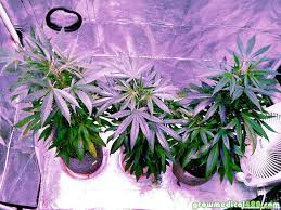 Led Grow Lights Cannabis Led Grow Light Fun U2013 50 X 5 Watt Chip Sets Growing Medical Marijuana