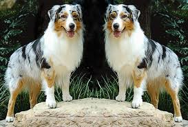 australian shepherd 4 months size the unfortunate case of the wild australian shepherd