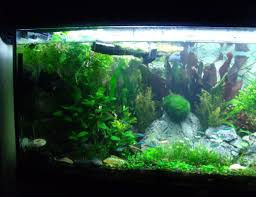 Live Plants In Community Aquariums by Plastic And Silk Aquarium Plants Pros And Cons Aquariadise