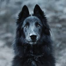 belgian sheepdog virginia 1000 images about love on pinterest virginia wolves and border