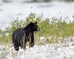 black bear the canadian encyclopedia