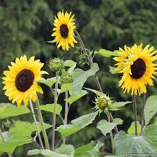 wild sunflower seeds helianthus annuus american meadows