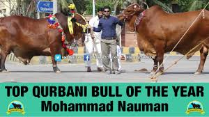 12 best pictures about cow qurbani 2016 2017 dangerous cow kick at