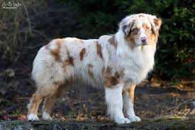 cut n loose australian shepherds australian shepherd coffee latte color joy id 16266