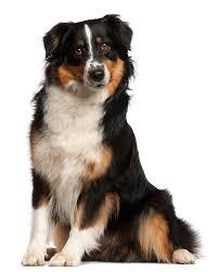australian shepherd grooming needs dental care for australian shepherds dog grooming tutorial