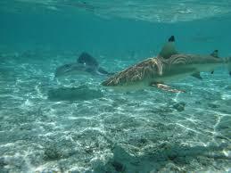 jeep snorkel underwater sharks stingrays and snorkeling the underwater world of bora bora