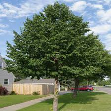 trees for shade shade trees for small landscapes hgtv gardening